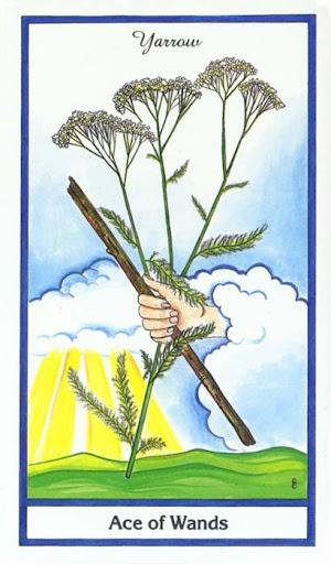 Ý nghĩa lá Ace of Wands trong bộ bài Herbal Tarot